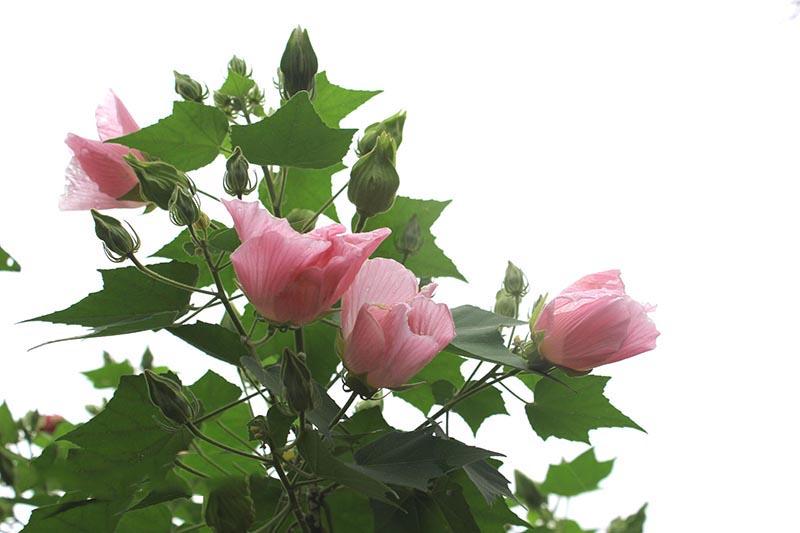 Hoa phù dung – cách trồng và chăm sóc hoa phù dung