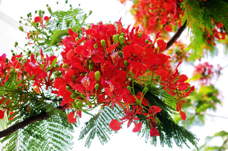 Tản văn: Mùa hè và hoa phượng