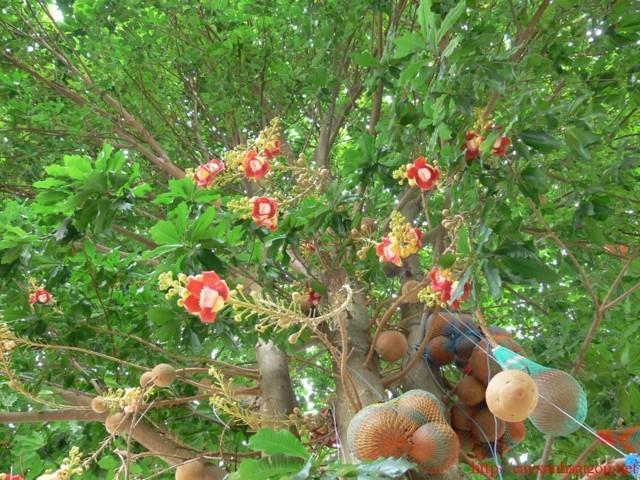 Cây tha la – cách trồng và chăm sóc cây tha la