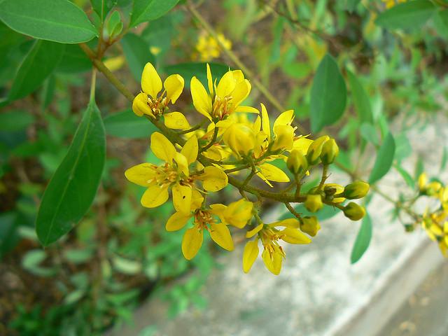Cây kim đồng vàng – cách trồng và chăm sóc cây kim đồng vàng