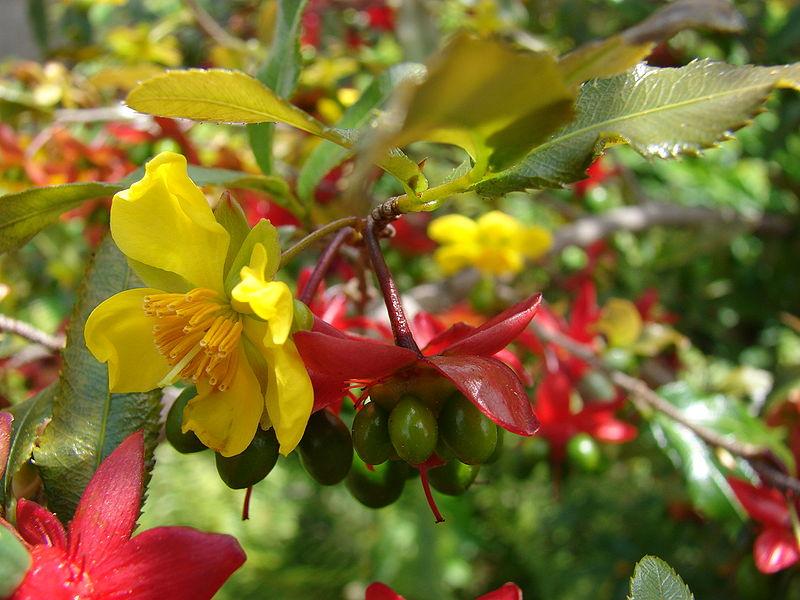 Cây mai tứ quý – cách trồng và chăm sóc cây mai tứ quý
