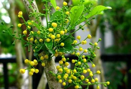 Cây hoa ngâu – cách trồng và chăm sóc cây hoa ngâu