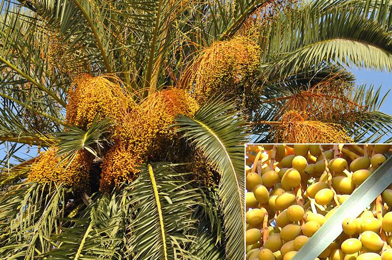 Cây dừa cảnh – cách trồng và chăm sóc