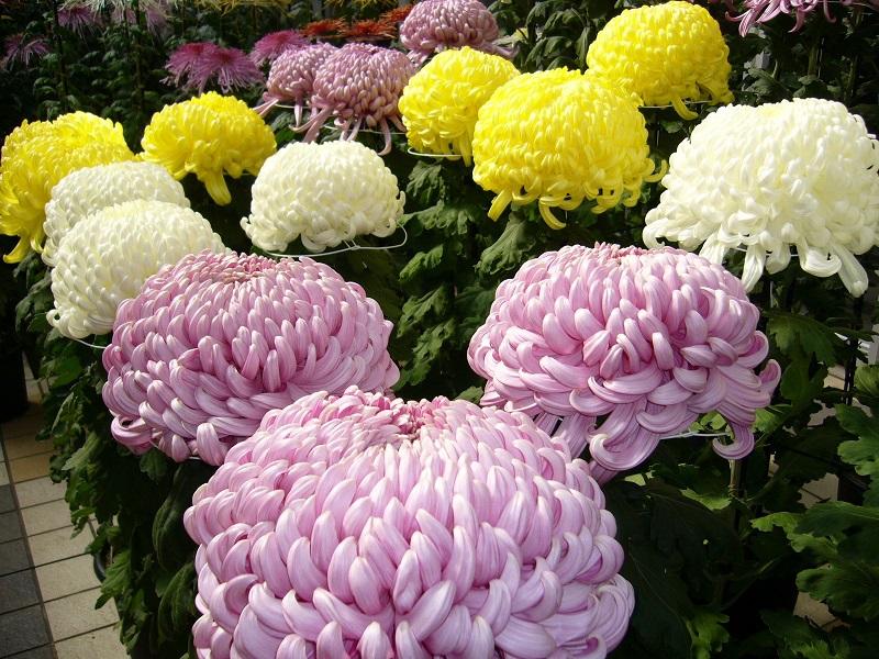 Hoa cúc đại đóa – cách trồng và chăm sóc