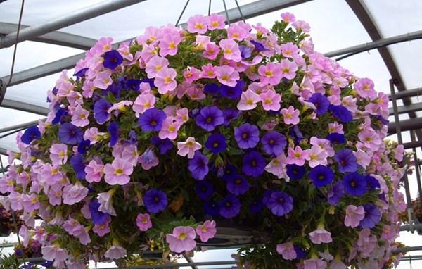 Hoa thúy điệp – hoa đẹp cho ban công