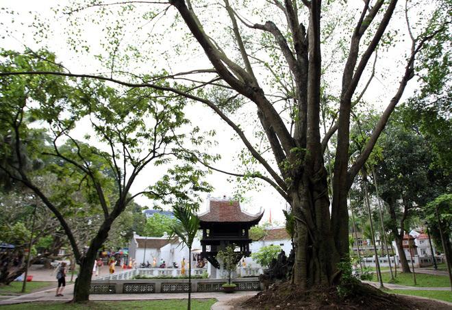 Cây bồ đề – Cách trồng và chăm sóc cây bồ đề hiệu quả