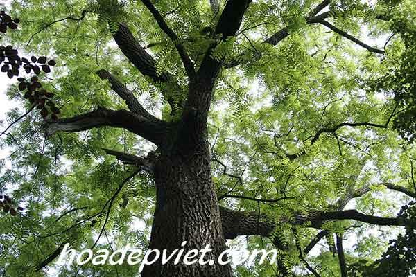 Cây sưa – Cách trồng và chăm sóc cây gỗ sưa để đạt được năng suất cao