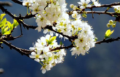 Cây hoa mận – Cách trồng và chăm sóc hoa mận