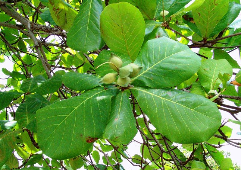 Cây bàng – Cách trồng và chăm sóc cây bàng hiệu quả