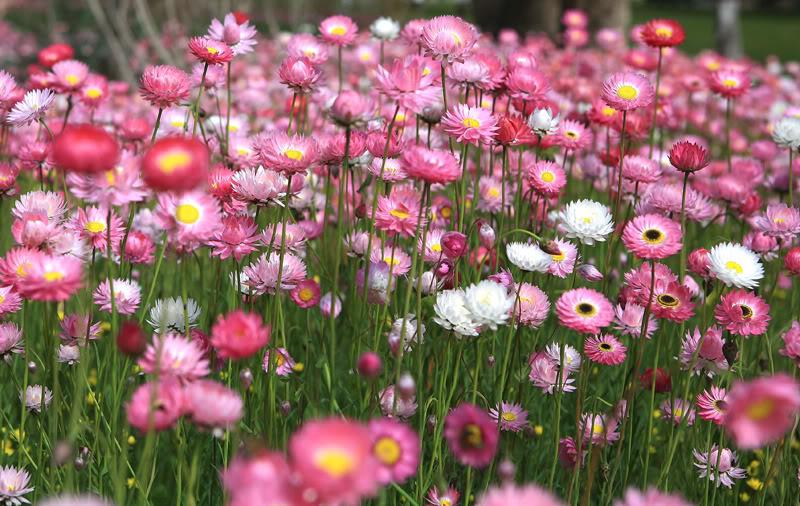 Cây hoa bất tử – Cách trồng và chăm sóc cây hoa bất tử