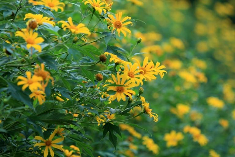 Hoa dã quỳ – Cách trồng và chăm sóc hoa dã quỳ