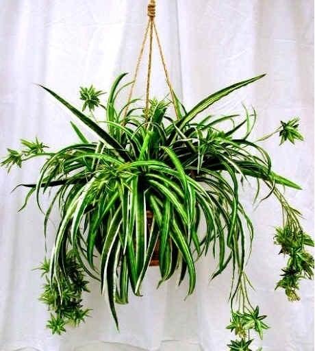 Cây mẫu tử – Cách trồng và chăm sóc cây mẫu tử
