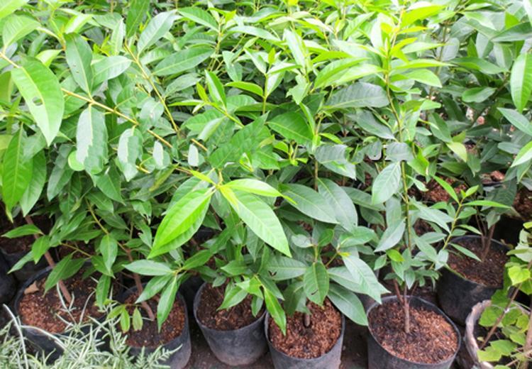 Cây vối – Cách trồng và chăm sóc cây vối hiệu quả cao
