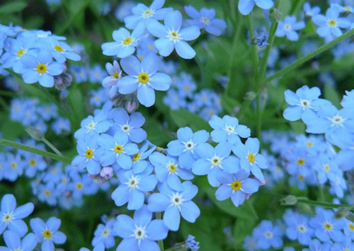 Cây hoa lưu ly – Cách trồng và chăm sóc hoa lưu ly