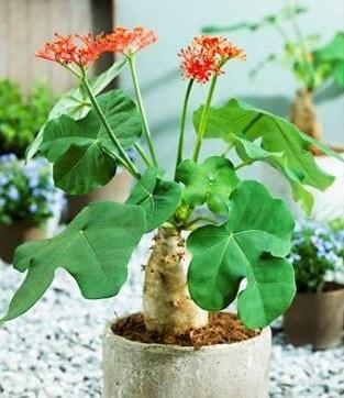 cây ngô đồng dễ trồng và chăm sóc