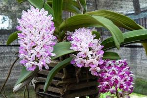 Hoa lan tai trâu mang vẻ đẹp quý phái sang trọng