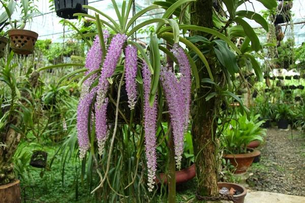 Một cây lan tai trâu có thể cho ra 3-4 cành hoa