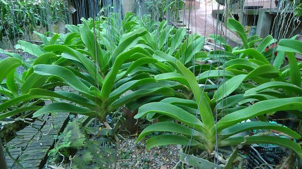 Hoa lan tai trâu dễ trồng và chăm sóc