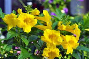 cây hoa chuông vàng nở hoa rực rỡ