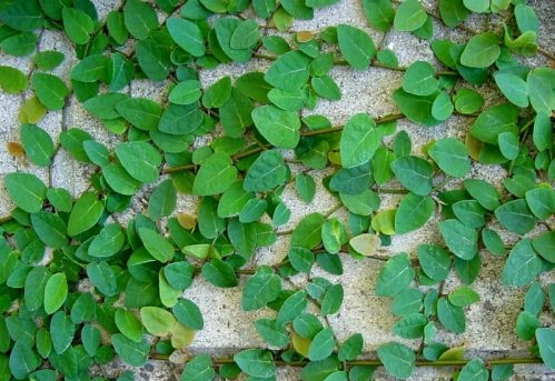 lá cây vẩy ốc có dạng hình tim