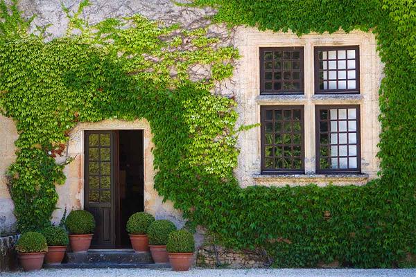 cây vẩy ốc trồng làm cảnh sân vườn
