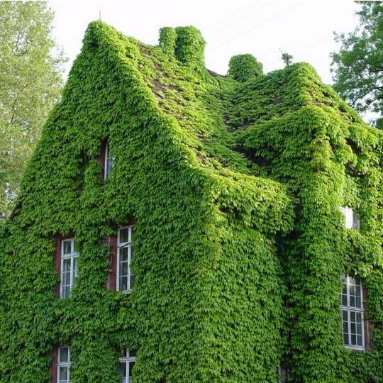 Cây Vảy ốc (Thằn Lằn) leo kín quanh nhà tạo sự mát mẻ