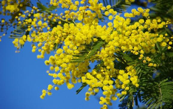 hoa-mimosa