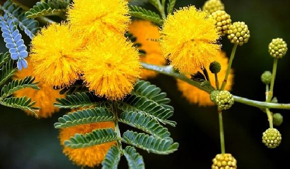 Cay-hoa-mimosa