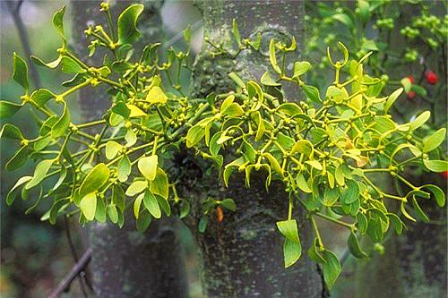 cây tầm gửi có nhiều loài khác nhau