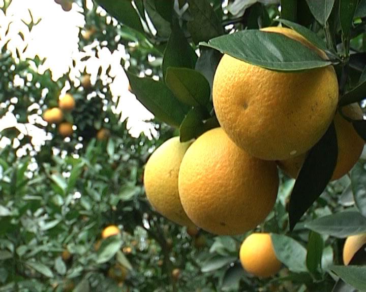 Cây cam sớm – Cách trồng và chăm sóc cây cam sớm