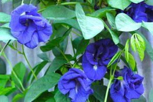 Hoa đậu biếc mang vẻ đẹp mềm mại đằm thắm