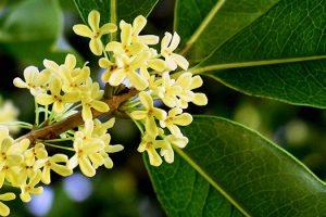 Cây hoa mộc có vẻđẹp dịu dàng mềm mại