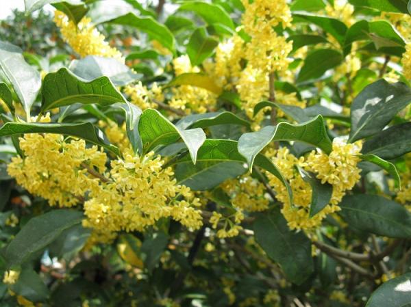 Hoa mộc mọc thành từng chùm hoa đẹp mắt và hương thơm