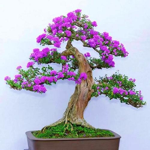 Cây linh sam mang vẻ đẹp độc đáo và sang trọng
