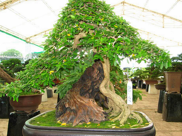linh sam được trồng làm bonsai với dáng cổ thụ đẹp mắt