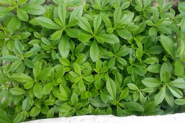 sâm đất trồng nhanh cho thu hoạch