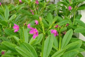 cáy sam đất có hoa màu tím khá đẹp