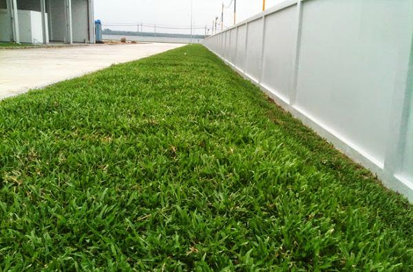 cỏ lá gừng tạo mảng xanh đẹp mắt cho công trình