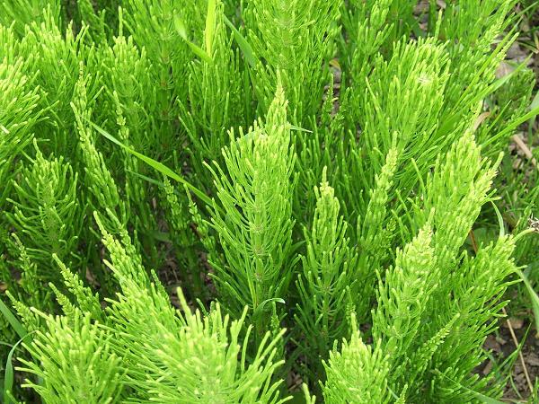 cách trồng cây cỏ tháp bút không khó vì cây sinh trưởng nhanh và mạnh