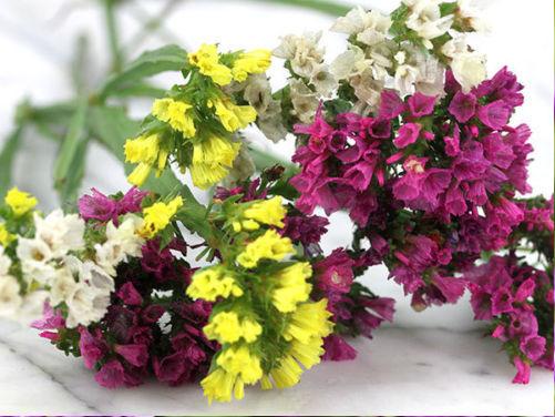 hoa salem có nhiều màu sắc khác nhau