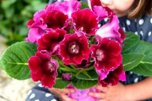 Hoa tử la lan mang một vẻ đẹp rực rỡ hiếm có