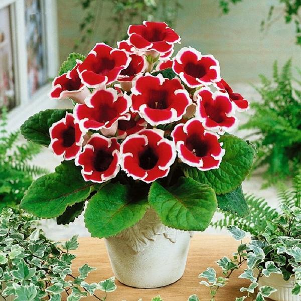Những chậu hoa tử la lan mang vẻ đẹp rực rỡ kiêu sa