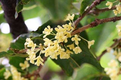 Hoa mộc dễ trồng và dễ chăm sóc