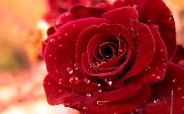ý nghĩa hoa hồng nhung