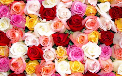 Hoa hồng rực rỡ với nhiều ý nghĩa khác nhau