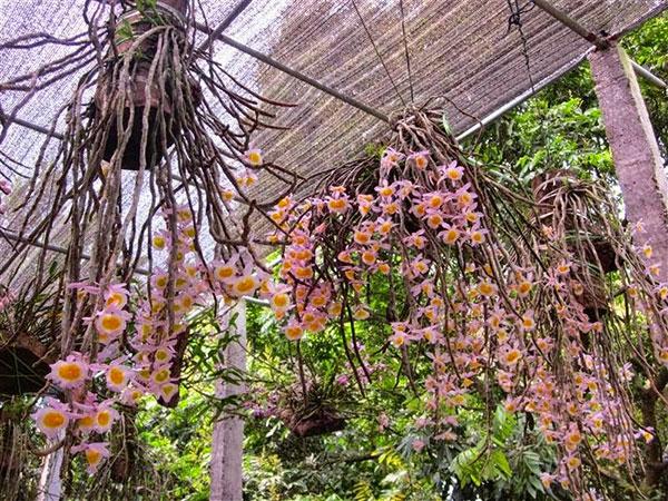 Lan long tu lào nở hoa rực rỡ