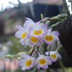 Hoa lan hoàng thảo long tu đá