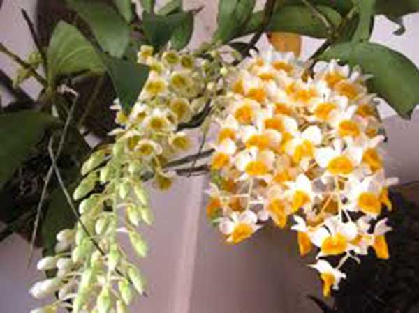 Lan giải thùy Sapa- Loại lan đẹp quý hiếm