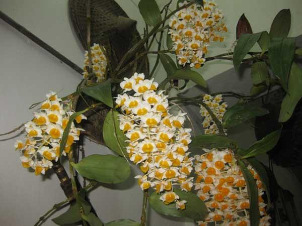 Hoa-lan-giai-thuy-sapa-2