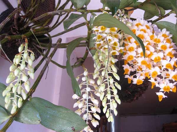 Hoa-lan-giai-thuy-sapa-4